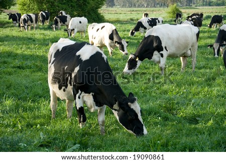 Holstein-Friesian cows grazing in a lush, green field, near Moss Vale, New South Wales, Australia - stock photo