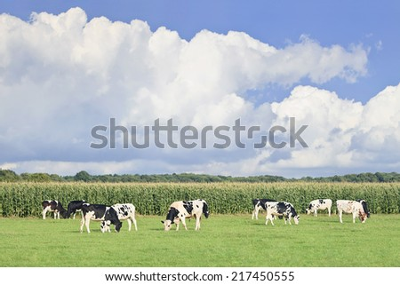 Holstein-Frisian cattle in a green Dutch meadow, corn field, blue sky and clouds. - stock photo