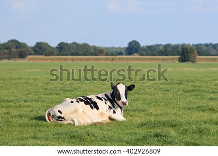 Holstein-Frisian cattle lying in a green meadow with cornfield on the background, The Netherlands. - stock photo
