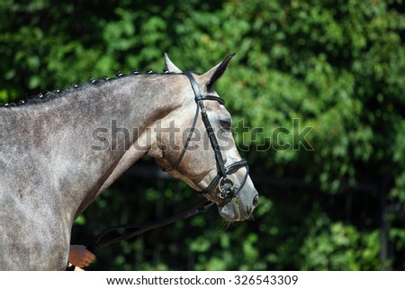 Holstein grey horse portrait in summer background