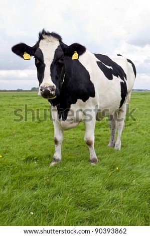 holstein milk cow - stock photo