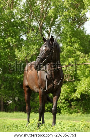 Holsteiner horse, bay gelding, portrait with bridle - stock photo