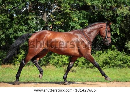 Holsteiner horse, bay gelding, run away from the rider - stock photo