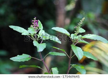 Holy basil, or tulsi, is an aromatic plant cultivated for religious and medicinal purposes, and for essential oils. - stock photo