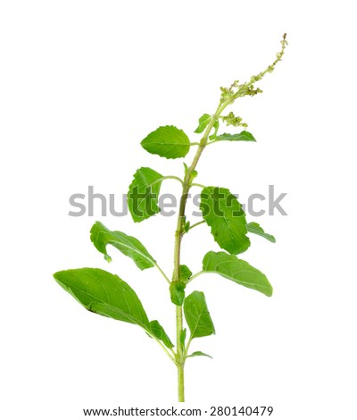 Holy basil or tulsi leaves isolated over white background.