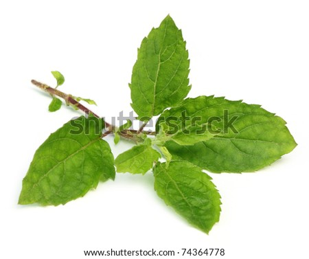 Holy basil or tulsi leaves isolated over white background - stock photo