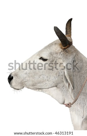 Holy cow - stock photo