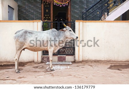 Holy cow standing near by the house and cat sitting on the fence in Hampi bazaar, Karnataka, India - stock photo