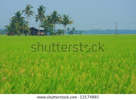 Home at the Rice Paddy Field - stock photo