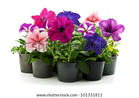 home flowers isolated on a white background - stock photo