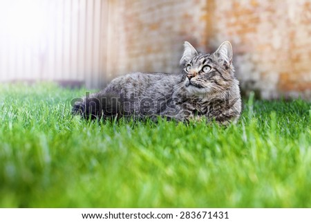 home gray cat lying on green grass looking calm gaze up
