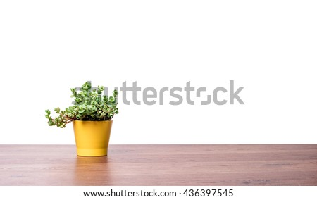 Home green plant in yellow ceramic pot. Plant in pot on wooden background - stock photo