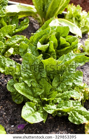 Home grown baby spinach leaves in vegetable garden - stock photo