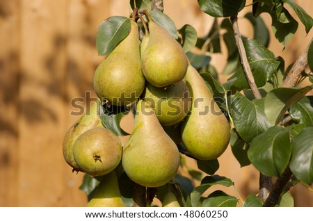 Home grown Concorde pears still on the tree - stock photo