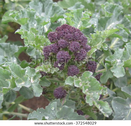 Home Grown Flowering Purple Sprouting Broccoli (Brassica oleracea, variety 'Red Arrow') in the Vegetable Garden at Rosemoor, Devon, England, UK - stock photo