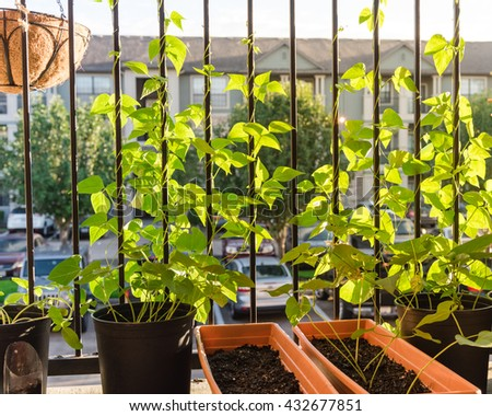 Home Grown Organic Vegetable, Bean In The Pots Over The Apartment  Patio/terrace/