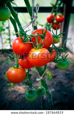 Home grown Tomatoes in a greenhouse - no pesticides, red and green cluster - stock photo