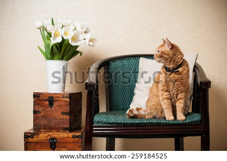 Home interior, cat sitting in an armchair, a wall and a bouquet of white tulips - stock photo