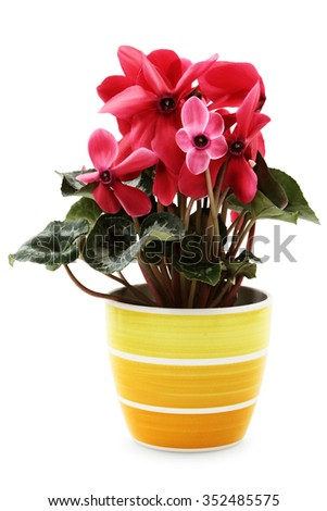 """Home plant """"Cyclamen persicum giganteum"""" isolated on white wit path. - stock photo"""