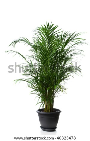 Home plant in flowerpot - Chrysalidocarpus Areca - stock photo