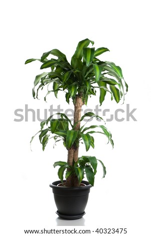 Home plant in flowerpot - Dracaena Massangeana - stock photo