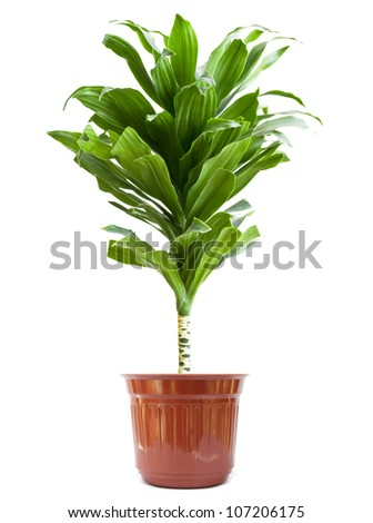 Home plant isolate on white background - stock photo