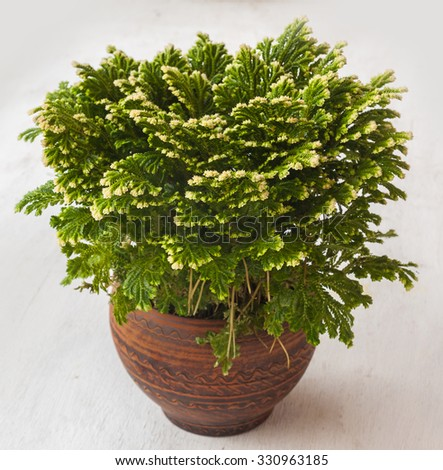 """Home plant Selaginella martensii """"Watsoniana""""  in a clay pot - stock photo"""