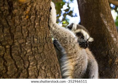 Home relaxation, Ring-tailed Lemur (Lemur catta) - stock photo