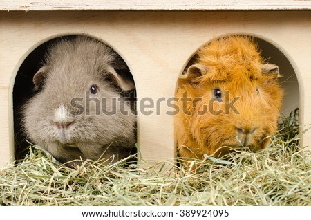 home sweet home...(curly and short haired peruvian guinea pig) - stock photo