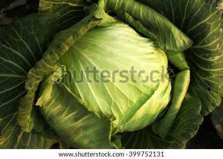 Home vegetable plantation in village. - stock photo