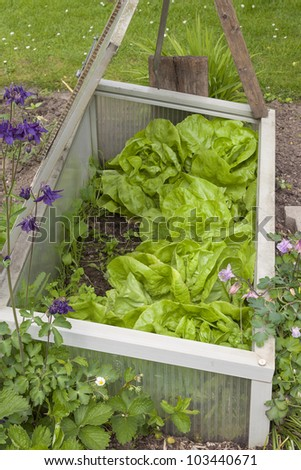 homegrown fresh salad , lettuce in a small greenhouse. - stock photo