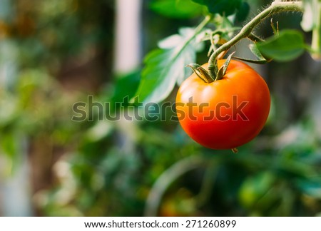 Homegrown Red Fresh Tomato In A Garden. - stock photo