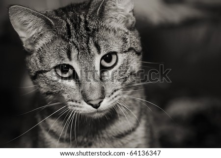 Homeless animals series. Beautiful tabby cat with a sad face looking out. Black and white image. - stock photo