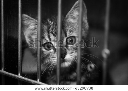 Homeless animals series. Cute tabby kitten looking out from behind the bars of his cage. Black and white image