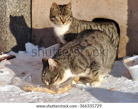 homeless cat is eating in the snow, Latvia - stock photo