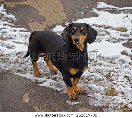 Homeless dachshund - stock photo