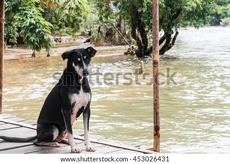 Homeless Dog look and sit on the Wood. - stock photo