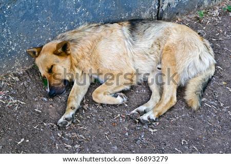 homeless dog near blue wall - stock photo
