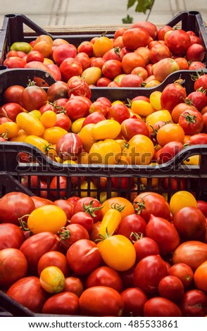 homemade ripe tomatoes, harvest.