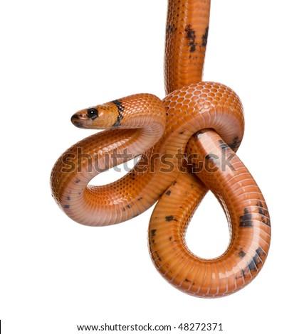 Honduran milk snake, Lampropeltis triangulum hondurensis, hanging in front of white background - stock photo