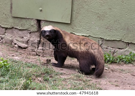honey badger - stock photo
