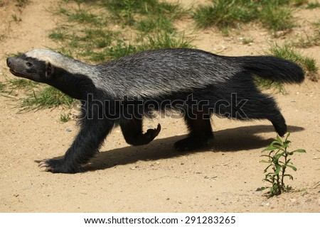Honey badger (Mellivora capensis), also known as the ratel. Wildlife animal.  - stock photo