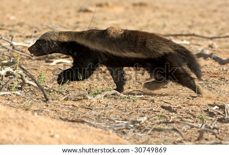 Honey Badger on the run - stock photo