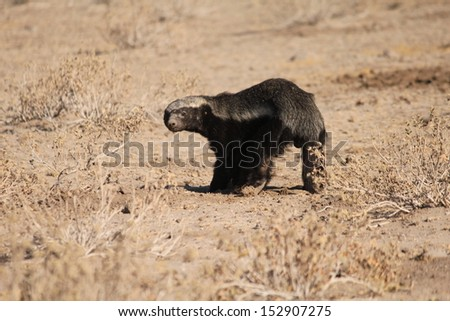 Honey badger smile - stock photo