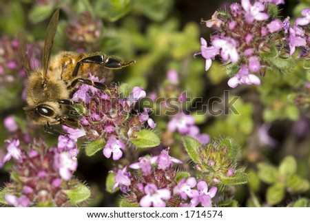 Honey Bee and Thyme - stock photo