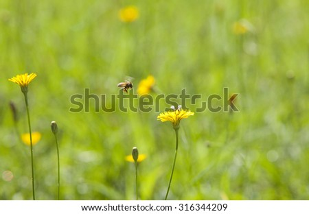 Honey bee and wild yellow flower on green grass. Dandelion background  - stock photo