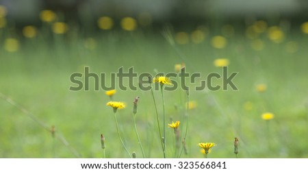 Honey bee and wild yellow flower on green grass. Dandelion background with yellow bokeh.  - stock photo
