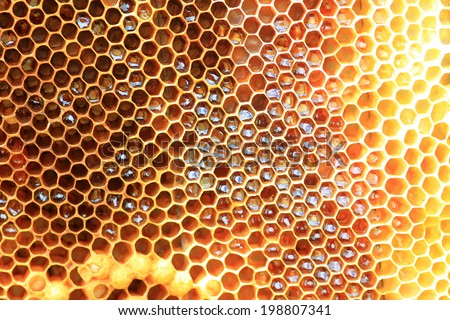 Honey Bee (Apis mellifera) nest in Japan  - stock photo