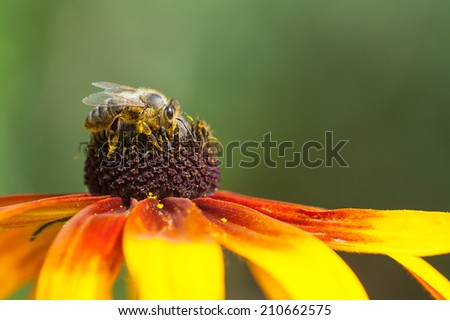 Honey bee( Apis mellifera) on a rudbeckia flower - stock photo