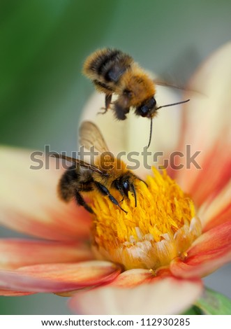 Honey bee (Apis mellifera) with pollen in its pile sitting on an orange dahlia flower, another one flying over; macro, motion blur, shallow dof - stock photo